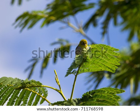 Shutterstock Tiny  little  Silvereye or Wax-eye (Zosterops lateralis)  a  small omnivorous passerine bird of Australia   perching in a black wattle tree is searching for nectar in the flowers in early winter .