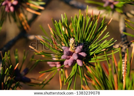 Tiny New Colorful Pine Cone Cluster Surrounded by Pine Needles with Blurred Background