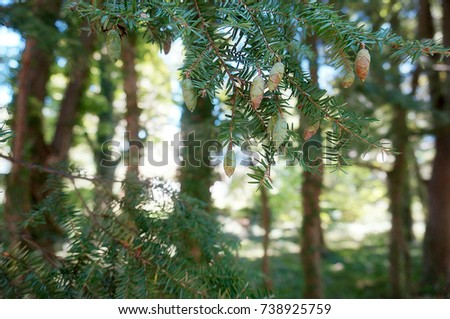 Tiny Pine Cones on a Pine Tree #738925759