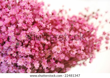 tiny pink flowers texture-isolated on white
