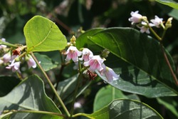 Tiny pink striped bell shaped flowers on a dogbane