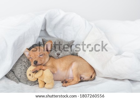 Tiny puppy and baby kitten sleep together under a warm blanket on a bed at home. Puppy hugs favorite toy bear
