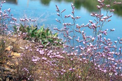 Tiny purple flowers on water background, lake shore, nature pure beauty
