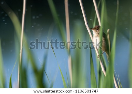 Tiny Reed Warbler hidden in the reeds on the swedish island Oland #1106501747
