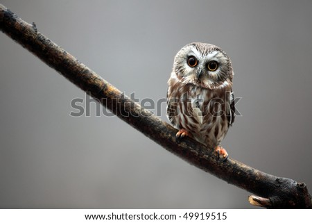 Tiny Saw-Whet Owl perched against a blurred background.