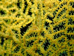 Tiny shrimp any resting in a beautiful yellow soft coral