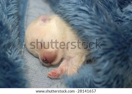 Pomeranian Puppies For Sale Tiny Orange Sable Pomeranian Prince ...