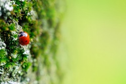 Tiny sleepy red ladybug on green blooming moss enjoys first warm sunlight. Green blurred copy space on the right side of the frame.