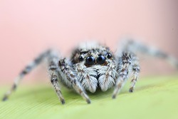 Tiny small jumping spider from high magnification macro photography