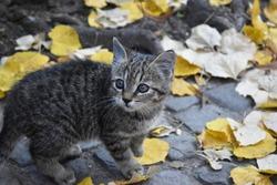 Tiny spooked kitten in autumn leaves