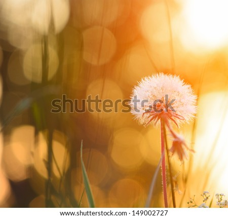 Tiny summer dandelion