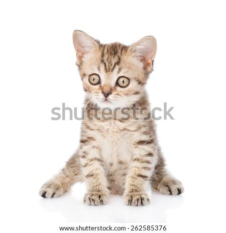 Tiny tabby kitten looking at camera. isolated on white background - Shutterstock ID 262585376