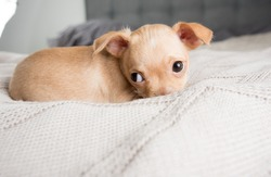 Tiny Tan Colored Chihuahua Puppy Falling Asleep on Baby Blanket