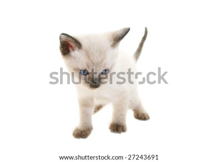 Tiny three week old baby Siamese kitten.  Shot on white background.