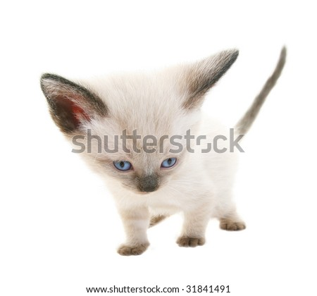 Tiny three week old baby Siamese kitten.  Shot on white background.  Extreme wide angle view.