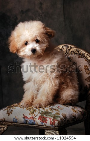 Tiny Toy Poodle on Antique Chair