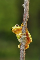 tiny tree frog climbing on a branch ( Hyla arborea, the only arboreal flog in Europe )