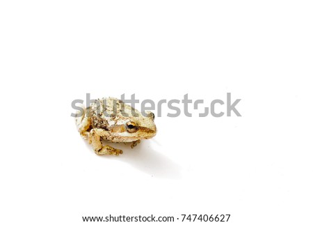 Tiny West Cost American tailed frog (Ascaphus truei)