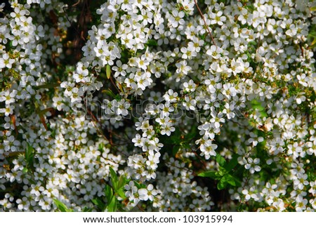 tiny white bridal wreath flower Spiraea vanhouttei