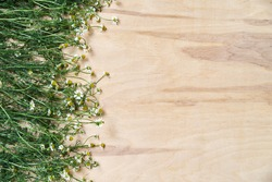 Tiny white camomiles with green stems scattered on wooden table. Natural background picture of wild flowers. Nature protection concept. Ecological texture for poems, letters, romantic notes.