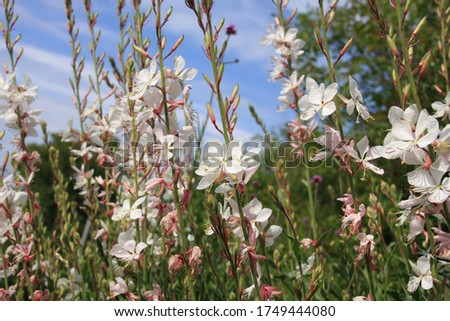 Tiny white flowers of gaura lindheimeri or whirling butterflies in the morning sun towards blue sky macro, dreamy inflorescence  in a romantic country cottage garden,  in early summer  Stock photo ©