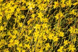 Tiny yellow blooming flowers, Jasminum nudiflorum, the winter jasmine