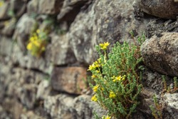 Tiny yellow flowers in dry stone walls, Biting Stonecrop wild flowers