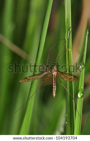Tipulidae - stock photo