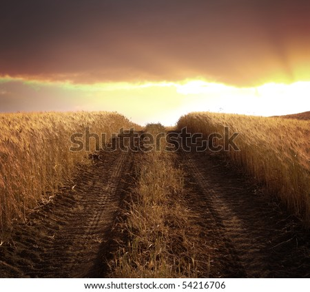 tire tracks on a dirt road goes to the sunlight at the sunset in the middle of a field of ripe cereal