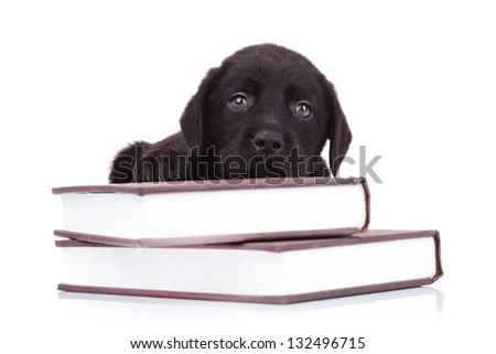 tired and cute black labrador retriever puppy dog lying down on some books