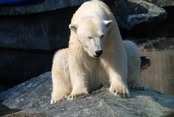 tired and sad polar bear in zoo