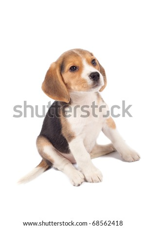 tired beagle puppy is seatinh on a white background