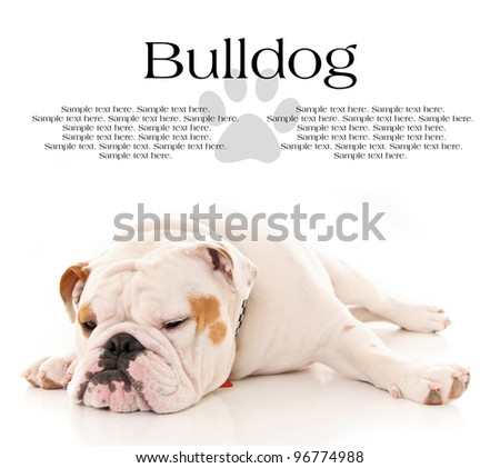 Tired Bull Dog Resting with Text Space Above