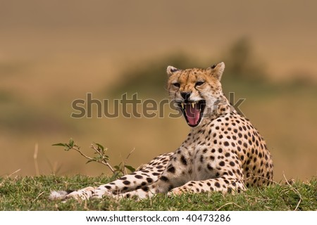 Tired Cheetah