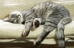 Tired domestic cat near the window, tired grey cat, sleepy tired cat, cat