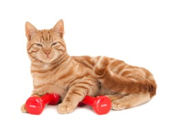 Tired ginger cat with red dumbbells, isolated on white
