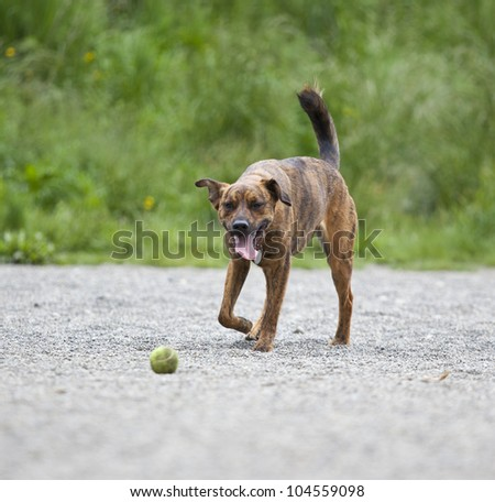 Tired hound retrieving a ball