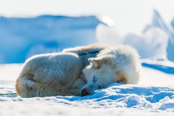 Tired husky dog resting on frozen sea.