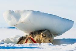 Tired husky dogs resting under snow block