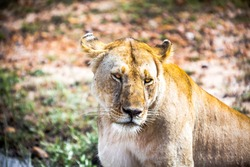 Tired Lioness Just After Drinking the Water