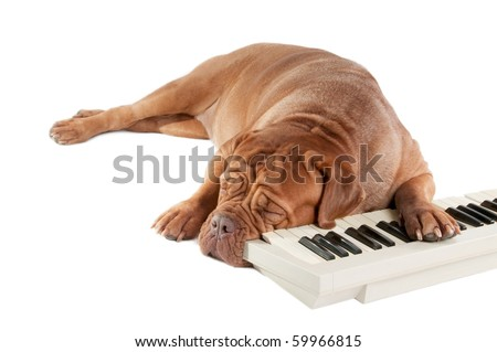 Tired piano player dog sleeping next to the keyboard
