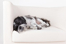 Tired shih tzu dog on the couch
