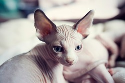 Tired sleepy kitten looks around. Portrait sphynx young cat in bed. Naked hairless domestic cat breed with beautiful blue eyes. Small sweet kitty.