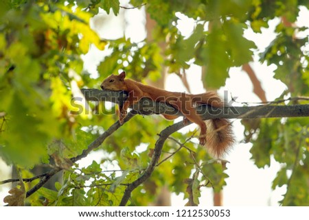 Tired squirrel lying down on the branch. Squirrel are having rest