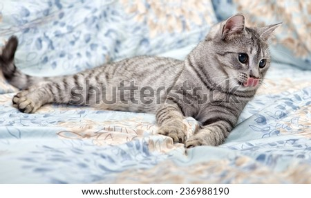Tired young cat on a sofa with tongue out, curious cat, kitten, tongue, cat on a sofa