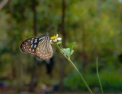 Tirumala septentrionis, the dark blue tiger, is a danaid butterfly found in the Indian subcontinent and Southeast Asia.