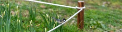 Tit bird is tweeting beside lilies flowers.