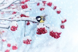 Tit sitting on a branch of rowan in the snow. Winter background