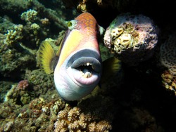 Titan trigger fish.This trigger fish grows to 75 cm; it feeds on corals, sea urchins, and crustaceans.