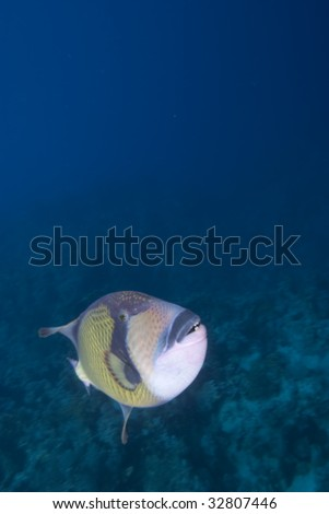 Titan triggerfish (Balistoides viridescens), Red Sea, Egypt.